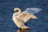 Trumpeter Swan (Cygnus Buccinator) Wing-Stretching While Wintering on St. Croix River Impressão fotográfica por Lynn M. Stone