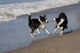 Pair of Border Collies in Tug-Of-War with Stick Along the Seashore, Santa Barbara Photographic Print by Lynn M. Stone
