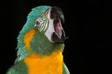 Blue-Throated Macaw (Ara Glaucongularis) Stampa fotografica di Lynn M. Stone