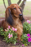 Long-Haired Standard Dachshund in Ornamental Flowers, Florida, USA Photographic Print by Lynn M. Stone