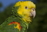 Yellow-Headed Amazon Parrot (Amazona Oratrix), Captive Stampa fotografica di Lynn M. Stone