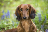 Long-Haired Standard Dachshund in Late Spring, Putnam, Connecticut, USA Photographic Print by Lynn M. Stone