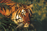 Portrait of Tiger Stepping Through Bamboo Thicket (Captive Animal) Photographic Print by Lynn M. Stone