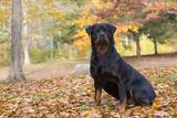 Rottweiler in Autumn, E. Haddam, Connecticut, USA Photographic Print by Lynn M. Stone