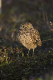Florida Burrowing Owl (Athene Cunicularia Floridana) Near Burrow, Cape Coral Photographic Print by Lynn M. Stone
