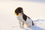 English Springer Spaniel (Field Type) Sitting on Snow-Covered Ice of Pond Photographic Print by Lynn M. Stone