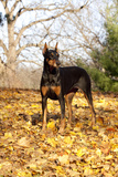 Doberman Pincher (Female) Standing in Yellow Maple Leaves, St. Charles, Illinois, USA Photographic Print by Lynn M. Stone