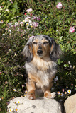 Dachshund, Mini Longhair, on Rock by Roses, Southern California, USA Photographic Print by Lynn M. Stone