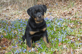 Rottweiler Pup in Blue Flowers, Waterford, Connecticut, USA Photographic Print by Lynn M. Stone