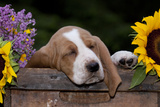 Basset Hound Pup Asleep in Antique Wooden Egg-Holding Box, Marengo, Illinois, USA Photographic Print by Lynn M. Stone