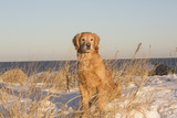 Male Golden Retriever Sitting on Snow Covered Rocks at a Long Island Sound Beach, Madison Photographic Print by Lynn M. Stone