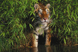 Tiger (Panthera Tigris) Stepping from Bamboo Thicket into Pond (Captive) Endangered Species Photographic Print by Lynn M. Stone