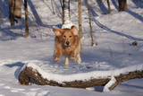 Golden Retriever (Male) Leaping over Snow-Covered Log, St. Charles, Illinois, USA Photographic Print by Lynn M. Stone