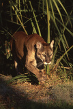 Florida Panther (Felis Concolor) Walking in Pine-Palmetto Forest, South Florida, USA Stampa fotografica di Lynn M. Stone