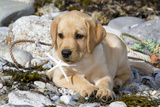 Yellow Labrador Retriever Pup Lying in Seaweed Wrack and Stones on Rocky Beach Photographic Print by Lynn M. Stone