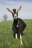 Alpine Goat (Dairy Breed), Poplar Grove, Illinois, USA Photographic Print by Lynn M. Stone