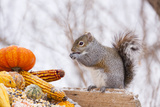 Gray Squirrel in Mid-Winter Feeding on Corn Kernels Among Gourds, St. Charles, Illinois, USA Photographic Print by Lynn M. Stone