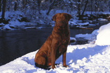 Chesapeake Bay Retriever on Snow at Edge of Stream in Late Afternoon Light, St. Charles Photographic Print by Lynn M. Stone