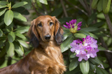 Portrait of Long-Haired Standard Dachshund in Late Spring Photographic Print by Lynn M. Stone