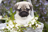 Pug Pup and White Flowers in Silver-Gray Wicker Basket, Santa Ynez, California, USA Photographic Print by Lynn M. Stone