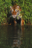 Tiger Casting Reflection in Pond Water as it Stalks from Bamboo Thicket (Captive) Photographic Print by Lynn M. Stone