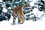 Male Tiger Peering Through Snow-Covered Spruce Trees (Captive Animal) Photographic Print by Lynn M. Stone