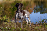 Portrait of German Shorthair Pointer Standing Next to Pond of Fall Reflection, Canterbury Photographic Print by Lynn M. Stone