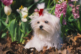 Maltese Dog with Red Ribbon in Spring Flowers, El Paso, Illinois, USA Photographic Print by Lynn M. Stone