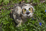 Great Horned Owl (Bubo Virginianus) Just Fledged Youngster Photographic Print by Lynn M. Stone