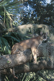Florida Panther (Felis Concolor) on Oak Branch in Woodland Hammock, South Florida, USA Photographic Print by Lynn M. Stone