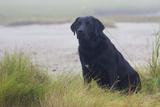 Black Female Labrador Retriever Sitting in Salt Marsh Grass at Low Tide on Foggy Summer Morning Photographic Print by Lynn M. Stone
