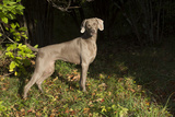 Weimaraner by Edge of Woodland, Early October Morning, , Colchester, Connecticut, USA Photographic Print by Lynn M. Stone