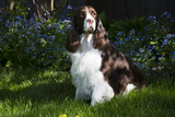 English Spring Spaniel (Show Type) in Spring, Marengo, Illinois, USA Photographic Print by Lynn M. Stone