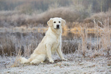 Golden Retriever by Pond on Frosty Winter Morning, Canterbury, Connecticut, USA Photographic Print by Lynn M. Stone