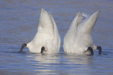 Trumpeter Swan (Cygnus Buccinator) Pair -Bobbing- to Feed, Early Morning on St. Croix River Impressão fotográfica por Lynn M. Stone