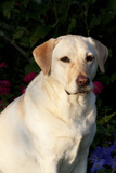 Portrait of Yellow Labrador Retriever (Female) in Early Morning Light by Red Zinnias, Geneva Photographic Print by Lynn M. Stone