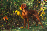 Vizsla by Yellow Autumn Leaves, Andover, Connecticut, USA Photographic Print by Lynn M. Stone