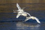 Trumpeter Swans (Cygnus Buccinator) Impressão fotográfica por Lynn M. Stone