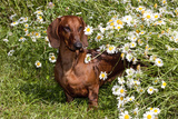Portrait of Smooth Hair Dachshund (Red) by Daisies, Putnam, Connecticut, USA Photographic Print by Lynn M. Stone