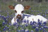 Texas Longhorn Calf in Bluebonnets (Lupine Sp.), Texas Hill Country, Burnet, Texas Photographic Print by Lynn M. Stone