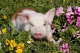 Spotted Piglet in Grass, Pink Petunias, and Yellow Pansies, Dekalb, Illinois, USA Fotodruck von Lynn M. Stone