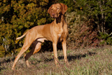 Vizsla Standing on Grassy Hillock with Autumn Foliage Photographic Print by Lynn M. Stone