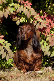 Portrait of Onghair Dachshund Emerging under Autumn Leaves of Burning Bush, Putnum Photographic Print by Lynn M. Stone