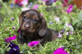 Standard Dachshund Puppy Photographic Print by Lynn M. Stone