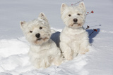 West Highland Terrier(S) in Snow, Vernon, Connecticut, USA Photographic Print by Lynn M. Stone