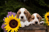 Basset Hound Pups with Sunflowers in Antique Wooden Box, Marengo, Illinois, USA Photographic Print by Lynn M. Stone