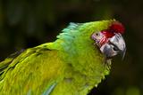 Military Macaw (Ara Militaris) Stampa fotografica di Lynn M. Stone