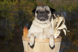 Female Pug in an Old Peach Basket with Indian Corn, Rockford, Illinois, USA Photographic Print by Lynn M. Stone