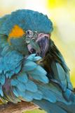 Blue-Throated Macaw (Ara Glaucogularis) Stampa fotografica di Lynn M. Stone