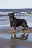 Rottweiler at Ocean's Edge on a Long Island Sound Beach, Madison, Connecticut, USA Photographic Print by Lynn M. Stone